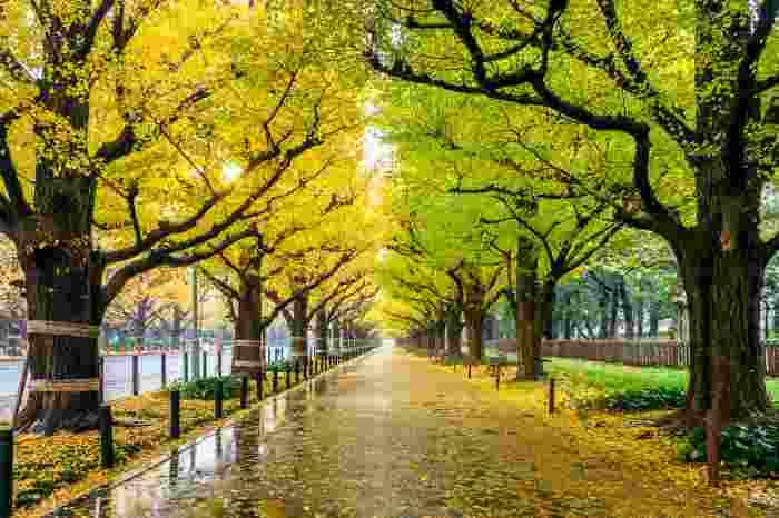 銀杏の木が歩道の脇に並んでいる