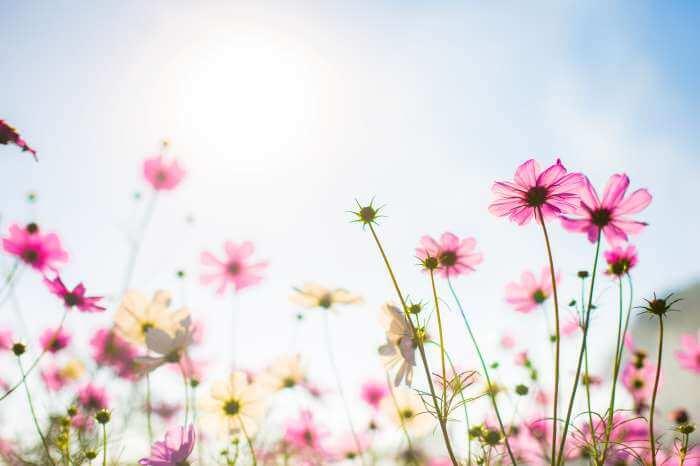 青空の下に咲いているコスモスの花
